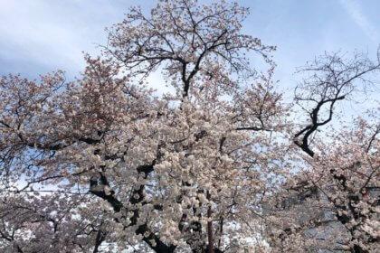 桜上水駅 桜